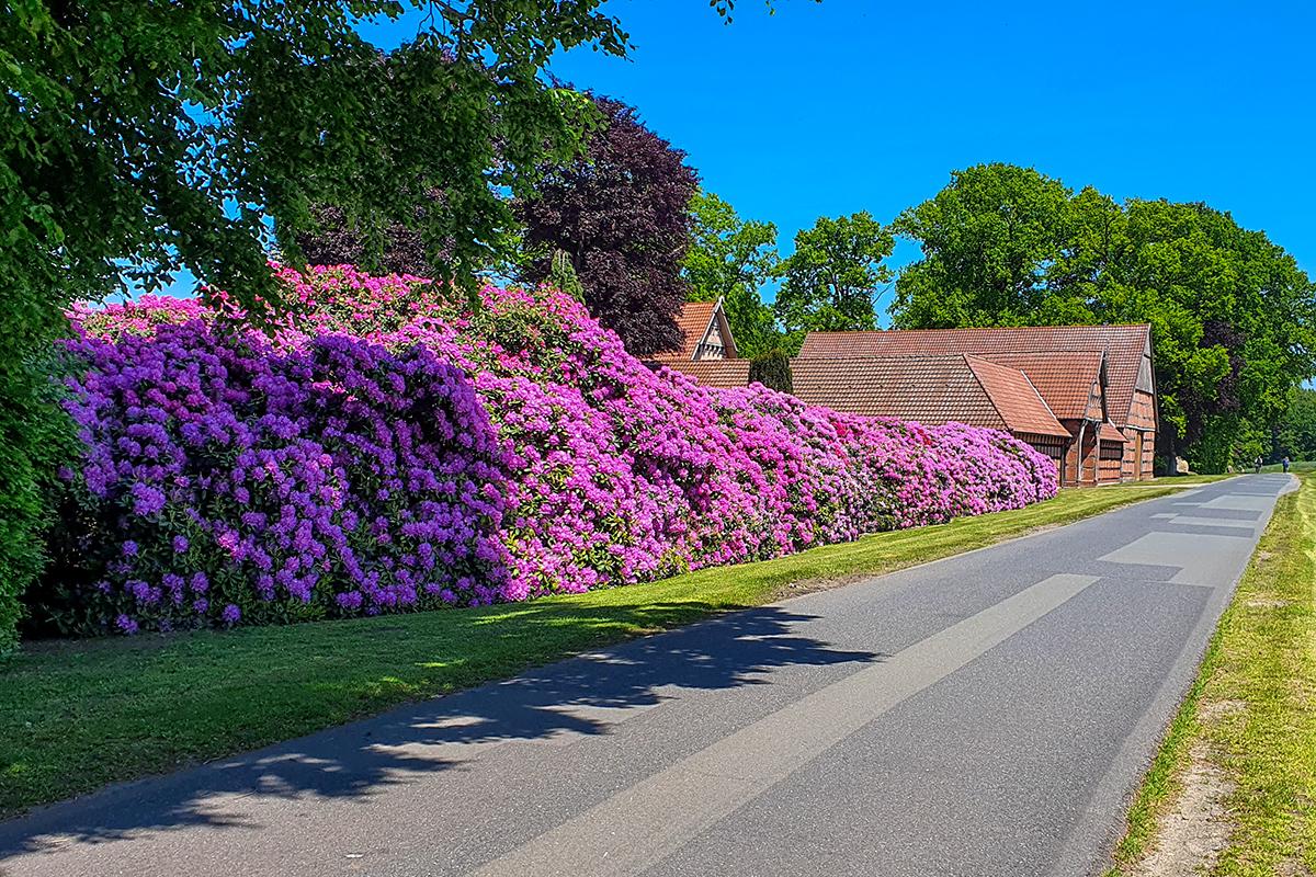 21-Rhododendron-Blüte in Grandorf